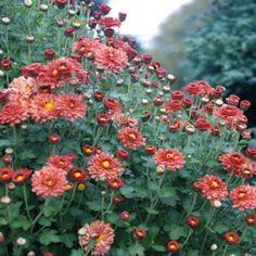 Chrysanthemum (Dendranthema) 'Bronze Elegans' - Perennials - Avant Gardens Nursery & Design