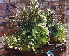 Ein Kasten für sonnige Standorte: Die Süßkartoffeln geben dem Arrangement mit ihren herzförmigen Blättern eine besondere Struktur.     1 x Hängepetunie 'Victorian Yellow' (Surfinia)     2 x Lampenputzergras 'Rubrum' (Pennisetum setaceum)     2 x Minipetunie 'Yellow' (Calibrachoa)     2 x Süßkartoffel 'Marguerite' (Ipomea batatas)     1 x Wandelröschen 'Goldsonne' (Lantana camara-Hybride)