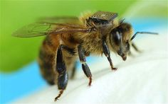 Scientists glue sensors to 5,000 bees to study behaviour