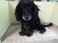 TO BE DESTROYED - 8/22/14 Manhattan Center -P ~~SENIOR ALERT~~~~ My name is GIGI. My Animal ID # is A1010875. I am a female black cocker span mix. The shelter thinks I am about 13 YEARS old.  I came in the shelter as a OWNER SUR on 08/17/2014 from NY 10467, owner surrender reason stated was OWNER SICK. I came in with Group/Litter #K14-190562.