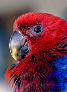 """Ruffled Up - eclectus parrot"""" by Jenny Dean 
