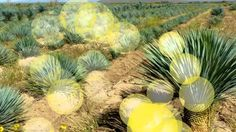 Yucca is a genus of perennial shrubs and trees in the family Asparagaceae, subfamily Agavoideae.Its species are notable for their rosettes of evergreen. Popular People, Youtube, Plants, Plant, Youtubers, Youtube Movies, Planets