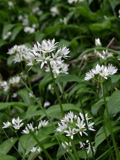 Wild garlic recipes and how to pick and store it.wild garlic pesto, frittata and malfati