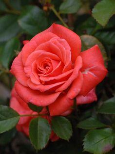 'Salmon Sunblaze' | Miniature Rose. Meilland 1996 | Flickr - © Cap001 – Dan