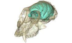 Old World Monkey Had Tiny, Complex Brain - http://scienceblog.com/79129/world-monkey-tiny-complex-brain/