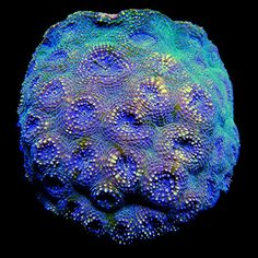 Green Echinata Colony Coral - WYSIWYG - 684