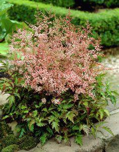Dwarf Astilbe 'Inshriach Pink' (Astilbe simplicifolia)
