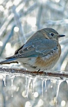 ❤ Blue bird in snow, ice, winter birds Pretty Birds, Love Birds, Beautiful Birds, Animals Beautiful, Cute Animals, Baby Animals, Beautiful Things, All Nature, Tier Fotos
