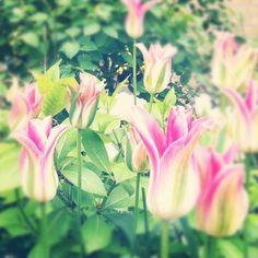 Lovely pink tulips in someones garden in Amsterdam, the Netherlands Amsterdam Tulips, Pink Tulips, Netherlands, Holland, Bloom, Gardening, Flowers, Nature, Plants