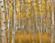 eliot porter photography | Eliot Porter – 'Aspens in Early Spring, New Mexico' 1953 | Flickr ...