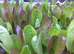 Salad leaves ready to be harvested in Timebank's garden