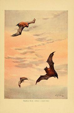 noctule bats. a history of british mammals v.1., 1910-1921.