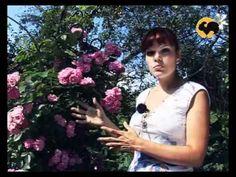 Розы в Саду. серия 11. Плетистые розы 1 - YouTube