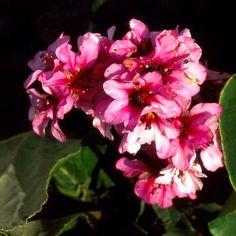 BERGENIA purpurascens (Plante des savetiers) : Robustes et peu exigeants, ce sont de très bons couvre-sols, parfaitement rustiques. Feuillage ample, coriace et persistant, formant un tapis épais. La floraison débute en fin d'hiver. Peuvent être utilisés en grands groupes, par exemple en garniture d'un massif d'arbustes ou à l'ombre froide d'un mur. Mi-hâtif. Feuillage vert foncé au revers pourpré virant au rouge pourpre l'hiver. Hampes velues. Fleurs pourprées.