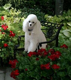 """Excellent """"french poodle puppies"""" detail is readily available on our web pages. Take a look and you wont be sorry you did. Perros French Poodle, French Poodles, I Love Dogs, Cute Dogs, Poodle Haircut, Poodle Hairstyles, Animals And Pets, Cute Animals, Poodle Cuts"""