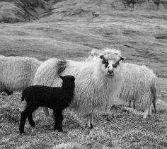 Sauer er ålreite dyr  Beautiful creatures #sauererålreitedyr #sheep #faroeislands #visitfaroeislands #atlanticairways #allover #eating #lamb #lovelycreatures by torunn22