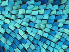 www.photomacrography.net :: View topic - Butterfly scales @ 20X