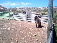 Sementales #Canary #Goats