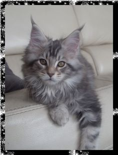 maine coon silver tabby | beautiful maine coon kitten
