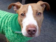 TO BE DESTROYED 3/5/14!  What's tan and white and tail waggy all over? Jameson! This little guy is so friendly and affectionate all he wants to do is hug and kiss, and climb in my lap for more hugs and kisses!! His leash manners are good too! Manhattan Center -P. My name is JAMESON. My Animal ID #A0992665.I'm a male tan/white pit bull mix about 1 YR.  https://www.facebook.com/photo.php?fbid=765363273476554&set=a.611290788883804.1073741851.152876678058553&type=1&theater