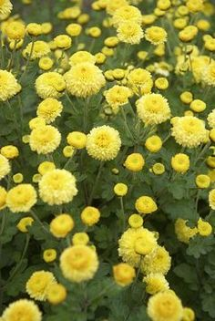 Mum Child's Play Herbaceous Perennials, Flowers Perennials, Planting Flowers, Flowers Nature, Fall Flowers, Yellow Flowers, Yellow Chrysanthemum, Flower Chart, Overwintering