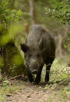 Wild Boar aren't native to the prairies, but a few have escaped from farms, including one that joined our cattle, when we had them.