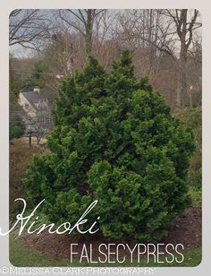 Emerald arrow bosnian pine a very narrow dark green for Slow growing trees for front yard