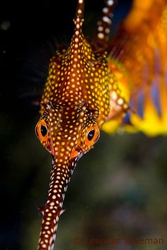 These marine fish are called sea dragons, they are related to the seahorse and they are really cute. There are two types of the sea dragon: the leafy and the weedy sea dragons. Underwater Creatures, Underwater Life, Ocean Creatures, Life Under The Sea, Under The Ocean, Beautiful Sea Creatures, Animals Beautiful, Weedy Sea Dragon, Fauna Marina