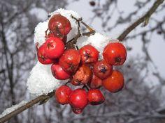 klein und zart, aber widersteht 15 Grad Frost Grad, Cherry, Fruit, Communication, Plants, Cherries