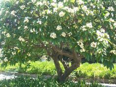 I want one of these!!!  Frangipani tree.  The perfume from these flowers is almost over-powering!