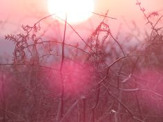 When the sun comes out, and in glorious pink Bradgate Park, Leicester