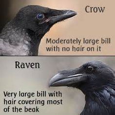 Crow vs raven not knowing the difference is like my ...