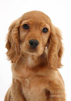 golden cocker spaniel puppies for sale Golden Cocker Retriever, Golden Cocker Spaniel Puppies, Perro Cocker Spaniel, Cocker Dog, Golden Puppy, Sprocker Spaniel, Cute Puppies, Cute Dogs, Cutest Animals