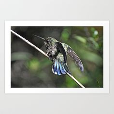 Show Off  Two  Art Print by Judy Grant  - $15.60