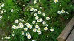 What Does Roman Chamomile Seedlings Look Like - - Yahoo Image Search Results