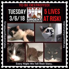 "TO BE DESTROYED 03/06/18 - - Info Please share View tonight's list here: http://nyccats.urgentpodr.org/ tbd-cats-page/. The shelter closes at 8pm. Go to the ACC website( http:/www.nycacc.org/ PublicAtRisk.htm) ASAP to adopt a PUBLIC LIST cat (noted with a ""P"" on their profile) a… CLICK HERE FOR ADDITIONAL INFO/P&#...- Click for info & Current Status: http://nyccats.urgentpodr.org/to-be-destroyed-03-02-18-info-urgent/"