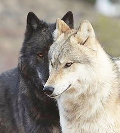 I love the one strong enough to run with me. Wolf love fiercely protects us from harm and keeps us wild ️ Arktischer Wolf, Wolf Love, Bad Wolf, Wolf Photos, Wolf Pictures, Beautiful Wolves, Animals Beautiful, Tier Wolf, Animals And Pets