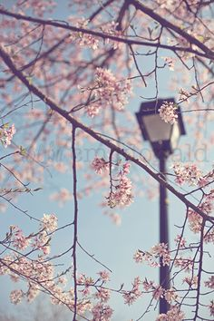 Walk With Me  - Photographic Print - Cherry Blossom, Spring, Washington, D.C., Romantic, Blue, Sky, pink, shabby, cottage, decor, art