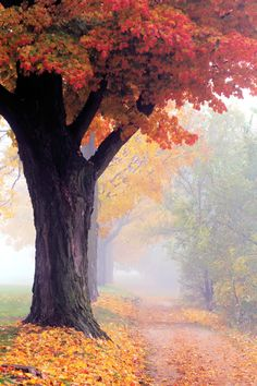 foggy morning in autumn - maple tree in fall colours