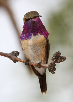 Lucifer Hummingbird - Junction Texas