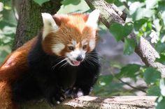 The Red Panda.