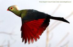 Prince Ruspoli's Turaco | ... BIRDING AFRICA: Prince Ruspoli's Turaco and all of Ethiopia's endemics