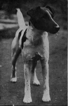 The Smooth Fox Terrier