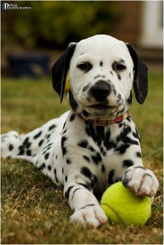 Dalmatian Puppy    Like and repin please :) Please visit: http://davidmays.shootproof.com for landscape and flower prints. Follow me on Pinterest: http://pinterest.com/davidmaysphotog/