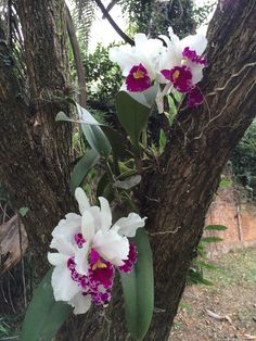 Deseja aprender a cultivar orquídeas? Clique neste pin e confira. Exotic Flowers, Tropical Flowers, Beautiful Flowers, Cattleya Orchid, Cymbidium Orchids, Small Vegetable Gardens, Plant Fungus, Garden Of Earthly Delights, Growing Orchids