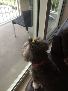 #schnauzer looking at condo view