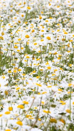 daisies, flowers, field, many, summer