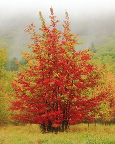 ✯ Maples in the mist