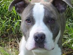 SAFE 6/22/13 BACC RAINY - A0968124  MALE BRINDLE/WHITE PIT MIX, 1yr Rainy loves going out for a walk & is so friendly to everyone he meets! Rainy is a pleasure. Affectionate & sweet this boy is now sitting in Brooklyn waiting for the axe to fall Rainy is a good dog caught in a situation he can't control. Please share him for a foster/adopter before this happy 1yr old comes to harm. He is on the PUBLIC list & needs you now!.