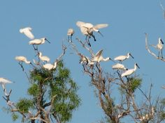 Spoonbills at Double Lagoon